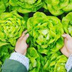 salat - bio und lokal - regional selbst angebaut selber pflanzen