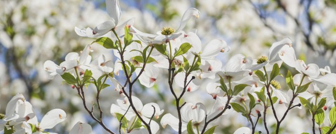 White blooms on a Dogwood shrub