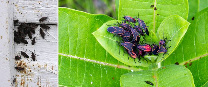 boxelder bugs crawling on fence and sitting on green leaves