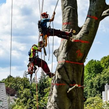 zwei Baumpfleger bei der Abtragung eines Baumes