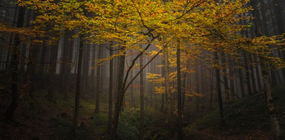 leuchtender Herbstbaum im Chiemgau