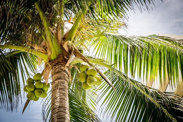 Coconut in Trees