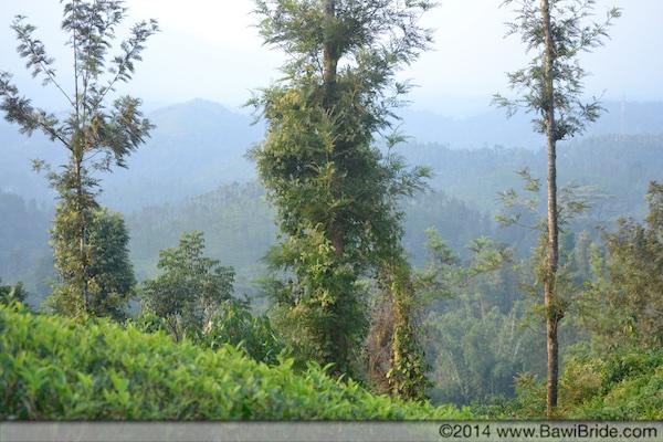 Tea Plantations in Kerala Wayanad