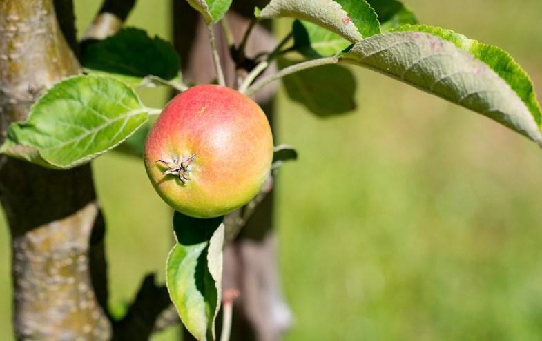 Ein Apfel am Baum