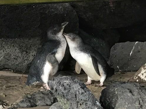 St. Kilda Pier Fairy Penguins