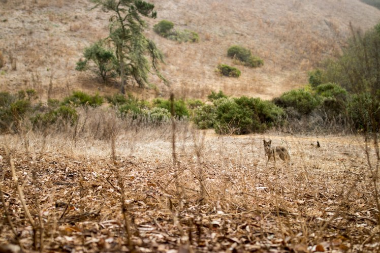 a coyote in the fields at Glen Canyon