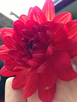 glowing red dahlia