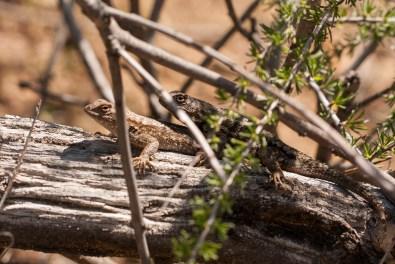 Nat Geo Lizards
