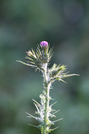 thistle bud with back light