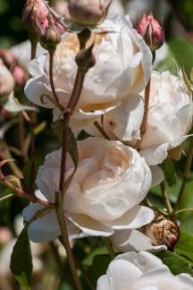 Filoli White Roses