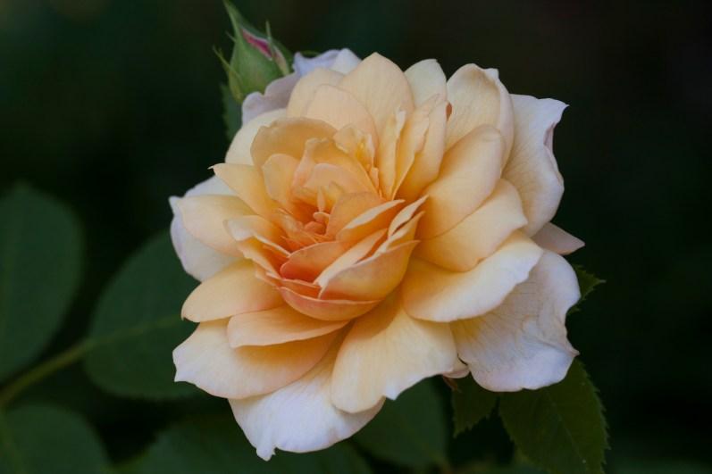 Rose at Filoli_2