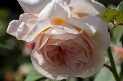 Rose at Filoli_3