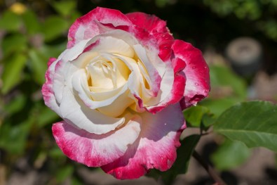 Rose at Filoli_5