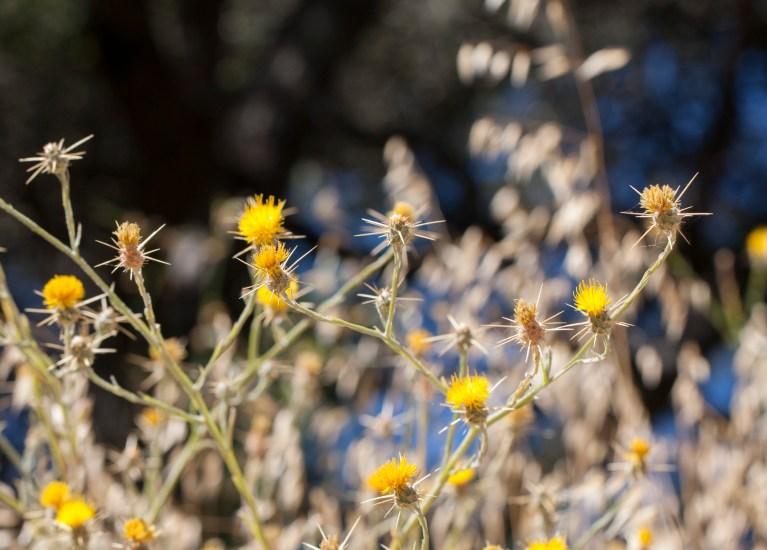 yellow thistles blue sky