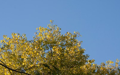 first-of-fall2016-yellow-tree-leaves-bluesky