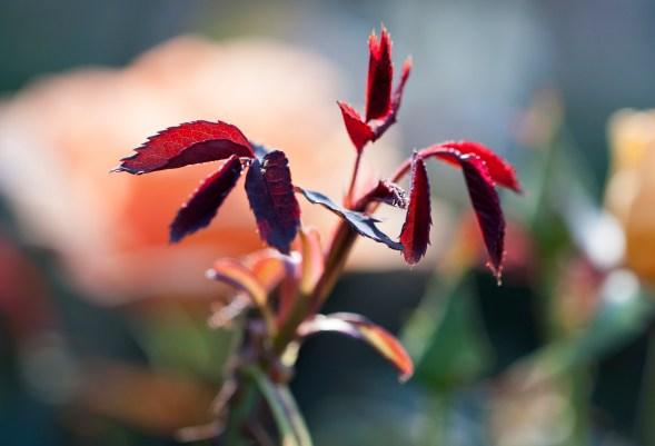 rose-leaves