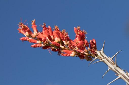 ocotillo-blossom
