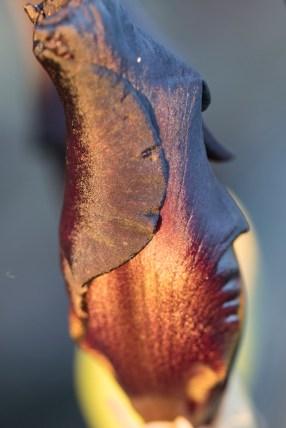 011317oxblood-iris-furled