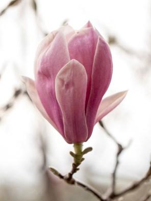 011717magnolia-blossom-backlight