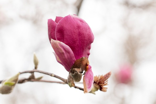 011717magnolia-blossom-deep-pink
