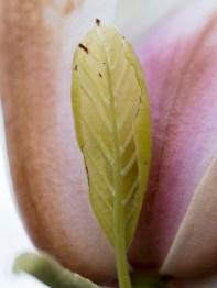 011717magnolia-blossom-leaf