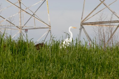 021317egret-between-two-towers