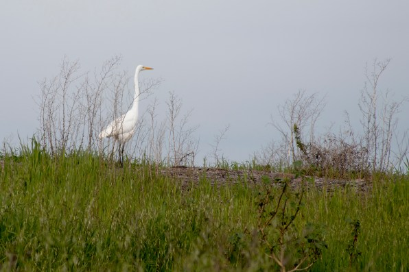 021317egret-looking-out-at-bay