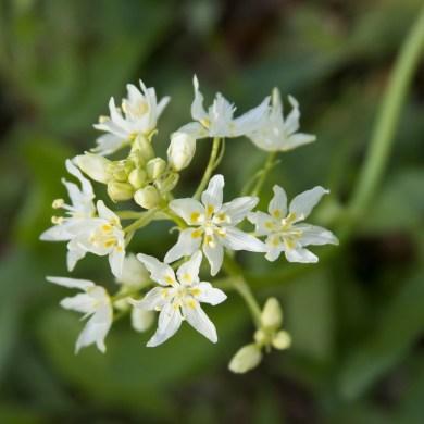 022417white-flowers