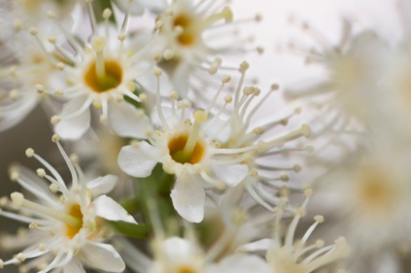 031317white fragrant tree flowers macro