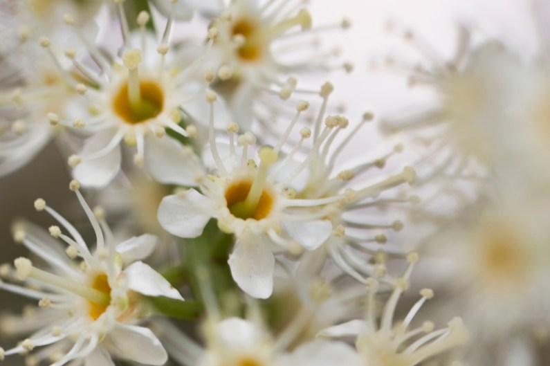 031317white fragrant tree flowers macro