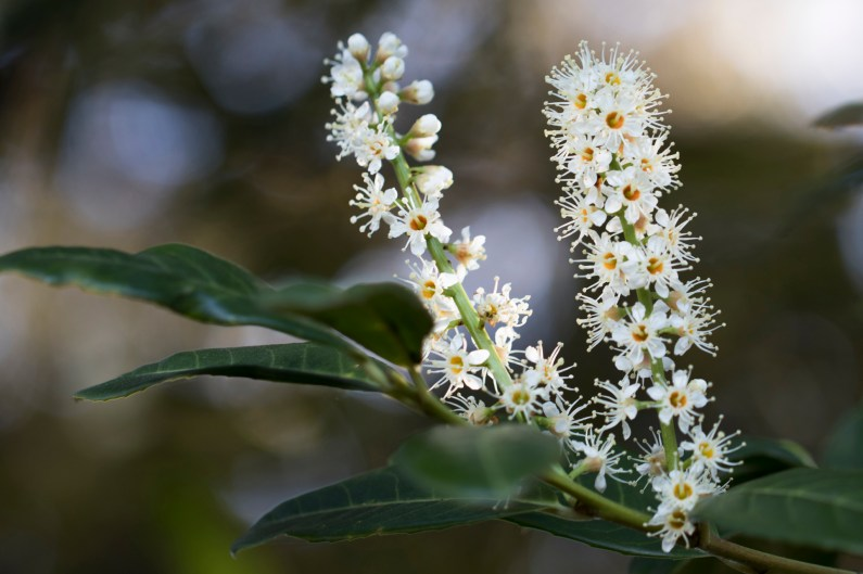 031317white fragrant tree flowers