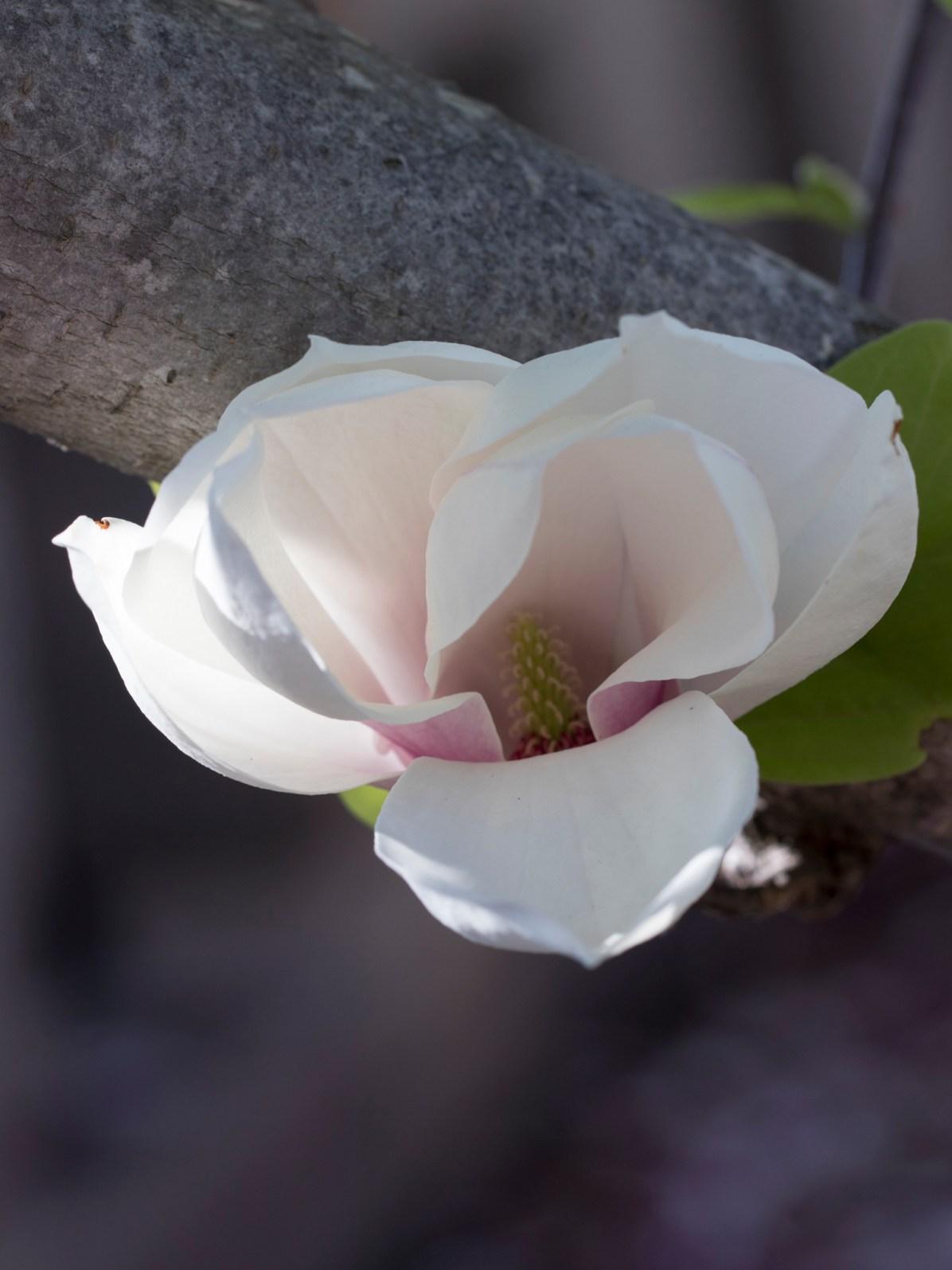031317white magnolia ray of sun