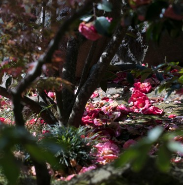 032817japanese tea garden camellia carpet