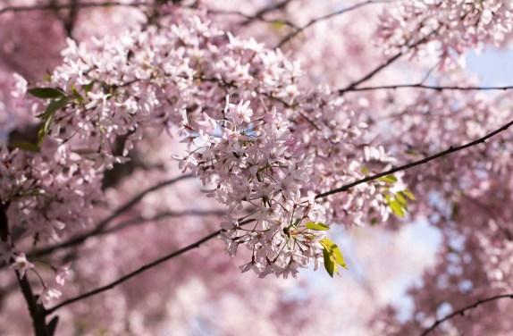 032817japanese tea garden pink cloud tree