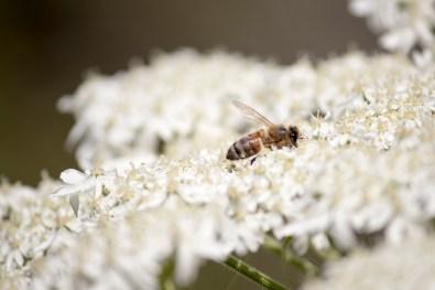 042917stinson bee in flower