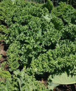 winterbor kale in the field