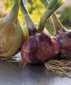 yellow and red onions