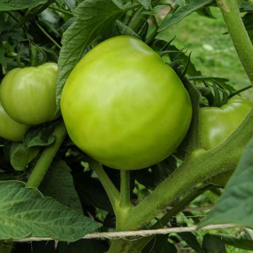 green tomato on the hanging on the plant