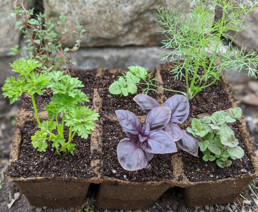 (Sorry, sold out) Herb Medley or Herb Starter Kit Image