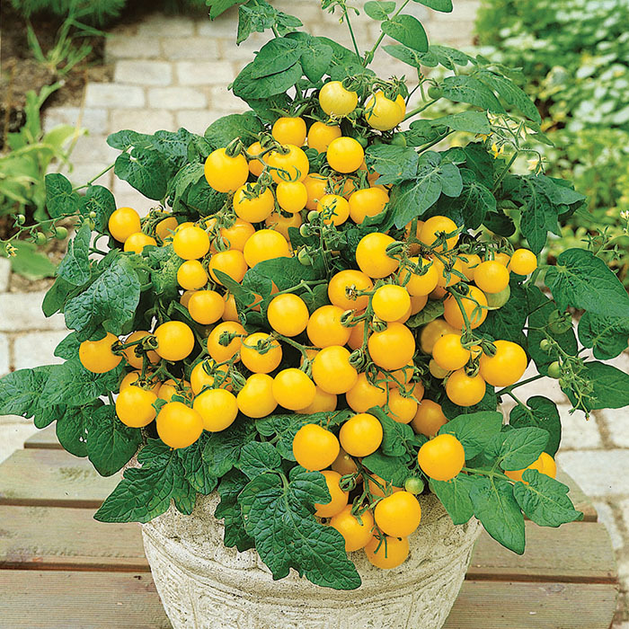 Patio Choice Yellow Cherry Tomato Image