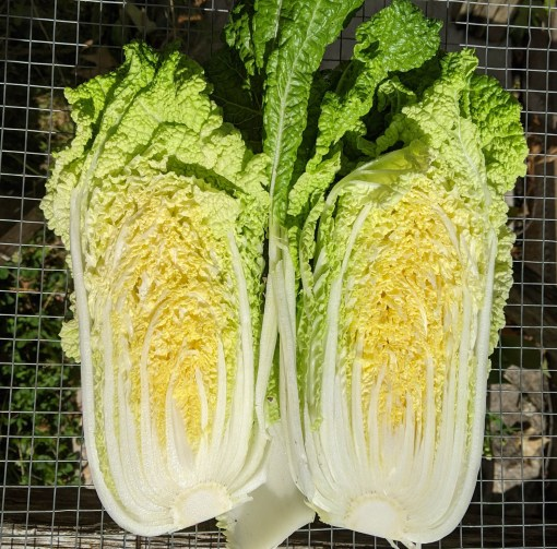 Napa Cabbage Sliced Open
