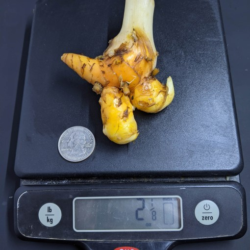 turmeric on a scale