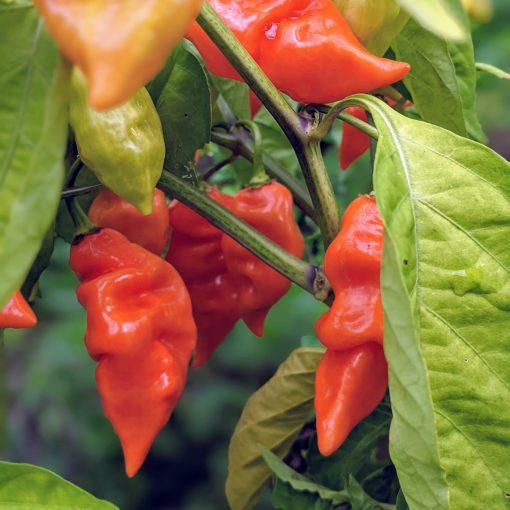 habanada pepper