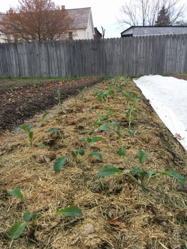 Transplanted kale mulched with grass clippings