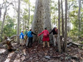 A 9 bushwalker sized spotted gum