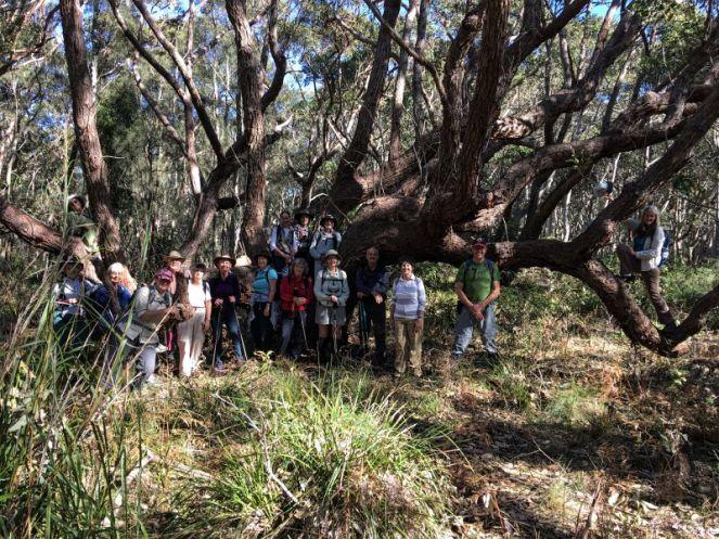 Swamp Mahogany bushwalker perch