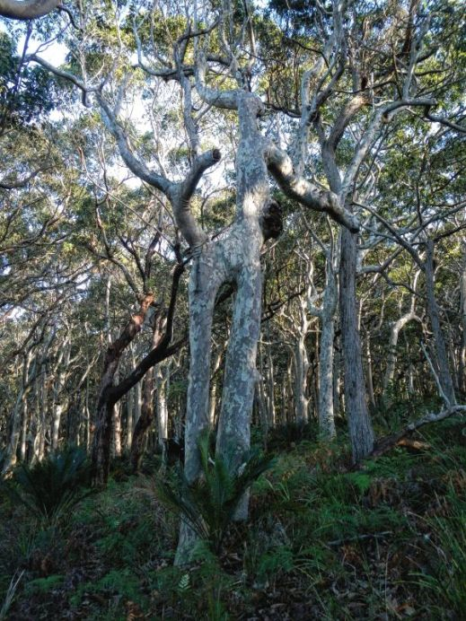 Fantastically shaped spotted gum in Myrtle Beach Forest