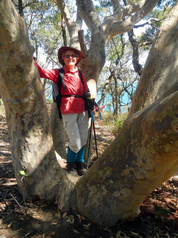 Betty in one of the twisted spotted gums on the headland
