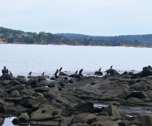 Pied Cormorants drying off on the rocks.