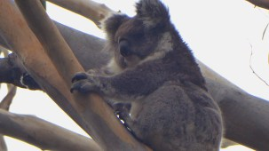 One of two Koalas spotted in the Monkey Trees.
